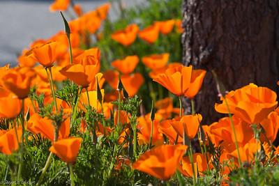 Poppies-6918