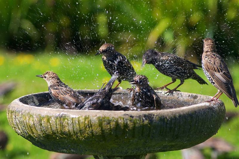 Starlings cooling off in a bird bath