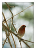 """House Finch"""