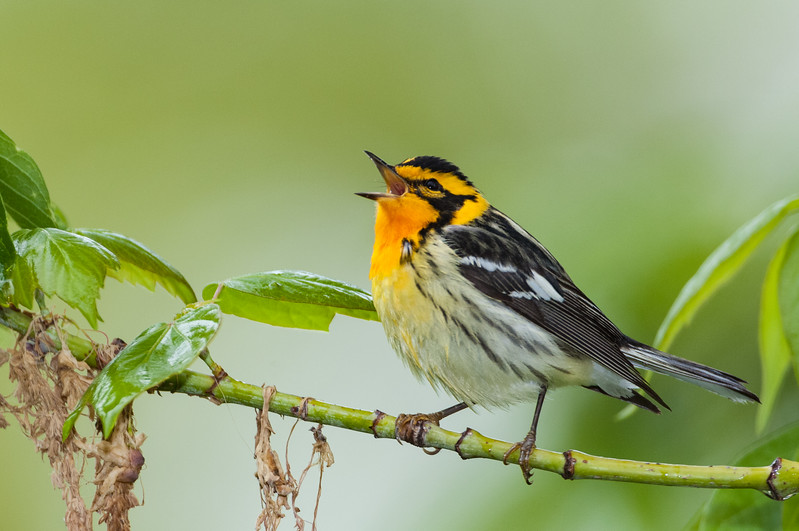 Blackburnian Warbler, Magee Marsh Wildlife Area, Ohio
