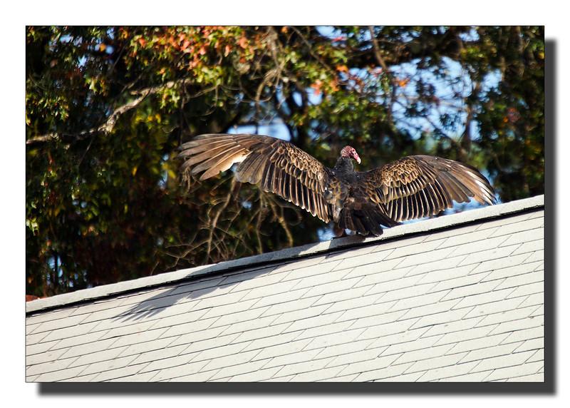 """Turkey Vulture"""