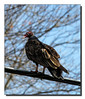 """Turkey Vulture"""