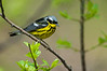 Magnolia Warbler, Magee Marsh Wildlife Area, Ohio