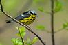 Magnolia Warbler, Magee Marsh Wildlife Area, Ohio