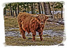 """Scottish Highland Steer"""