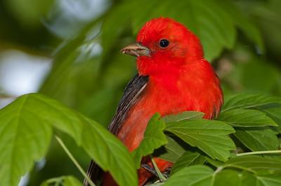 Scarlet Tanager, Magee Marsh Wildlife Area, Ohio