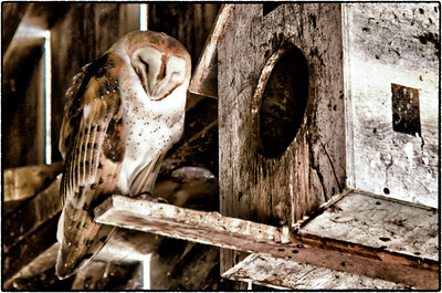 Rush Ranch Barn Owl