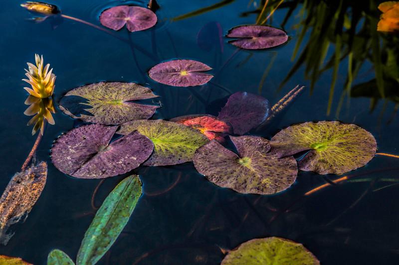 Lily Pond - Mission San Juan Capistrano, California