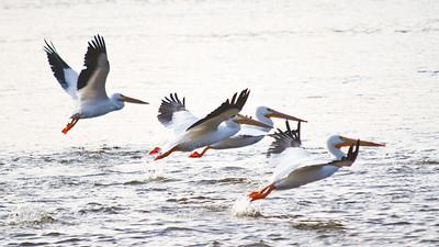 Pelicans, December 18, 2010