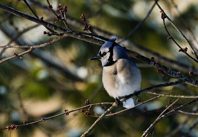 Blue Jay  Southern Missouri