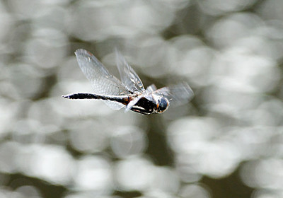 Dragonfly in flight. Perhaps not the best photograph, but I'm proud of it only because it is to hard to capture a dragonfly in flight!