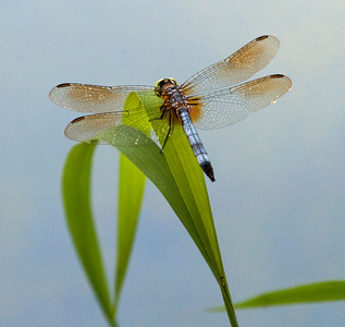 Dragonfly on a pond.