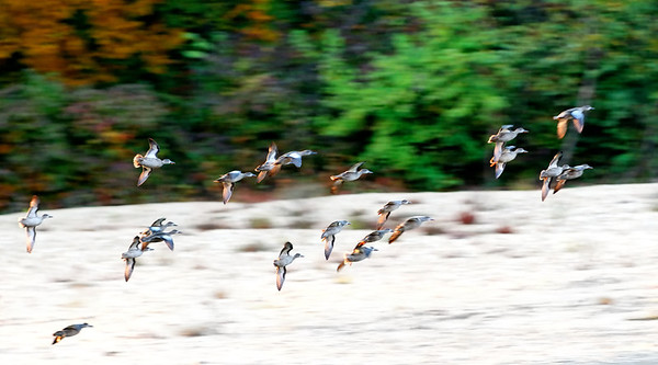 Evening Flight of Wild Ducks on the Current River
