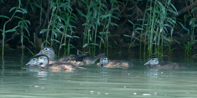 Wild Ducks.  Current River, southern Missouri.