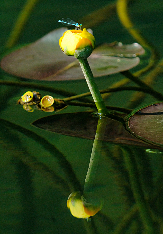 Damselfly on a Yellow Pond Lily (Nuphar luteum, also known as Spatterdock) on the Current River.