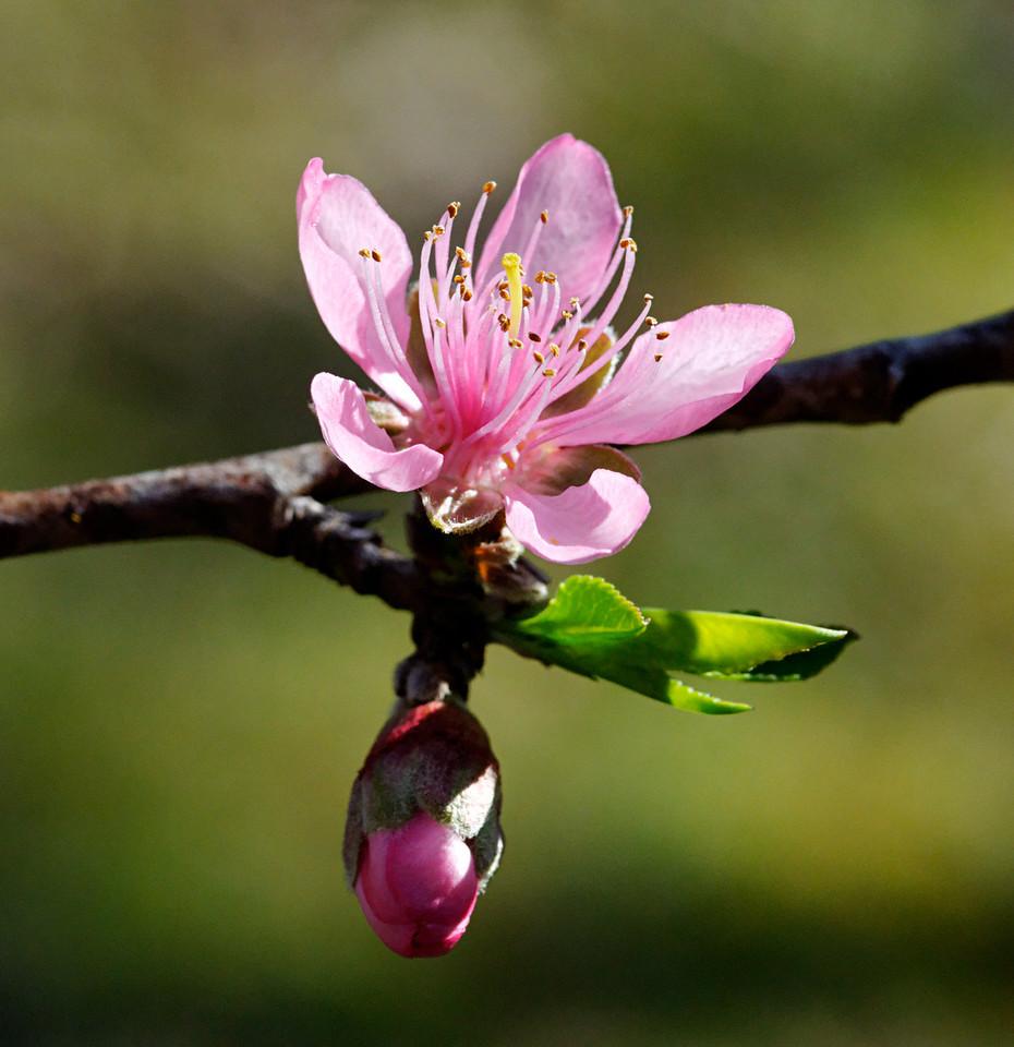 Peach blossom.