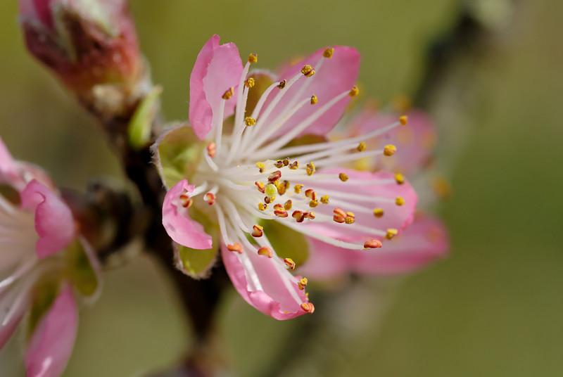 Spring Peach Blossom.