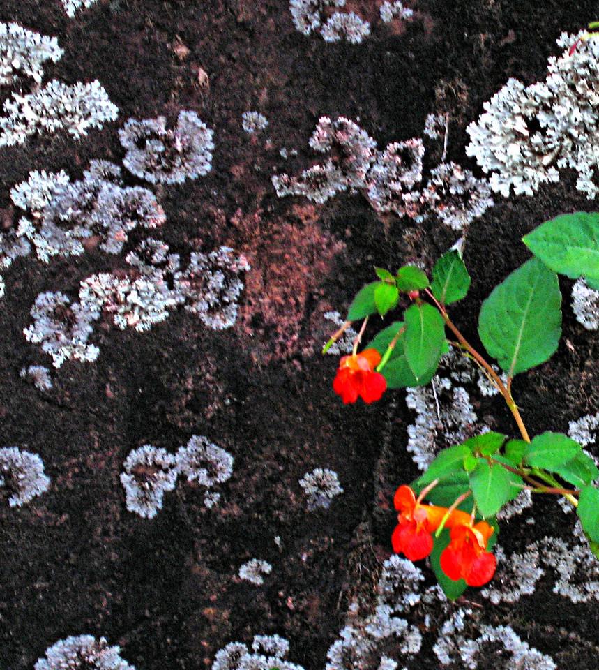 Tiny Flower on Granite.
