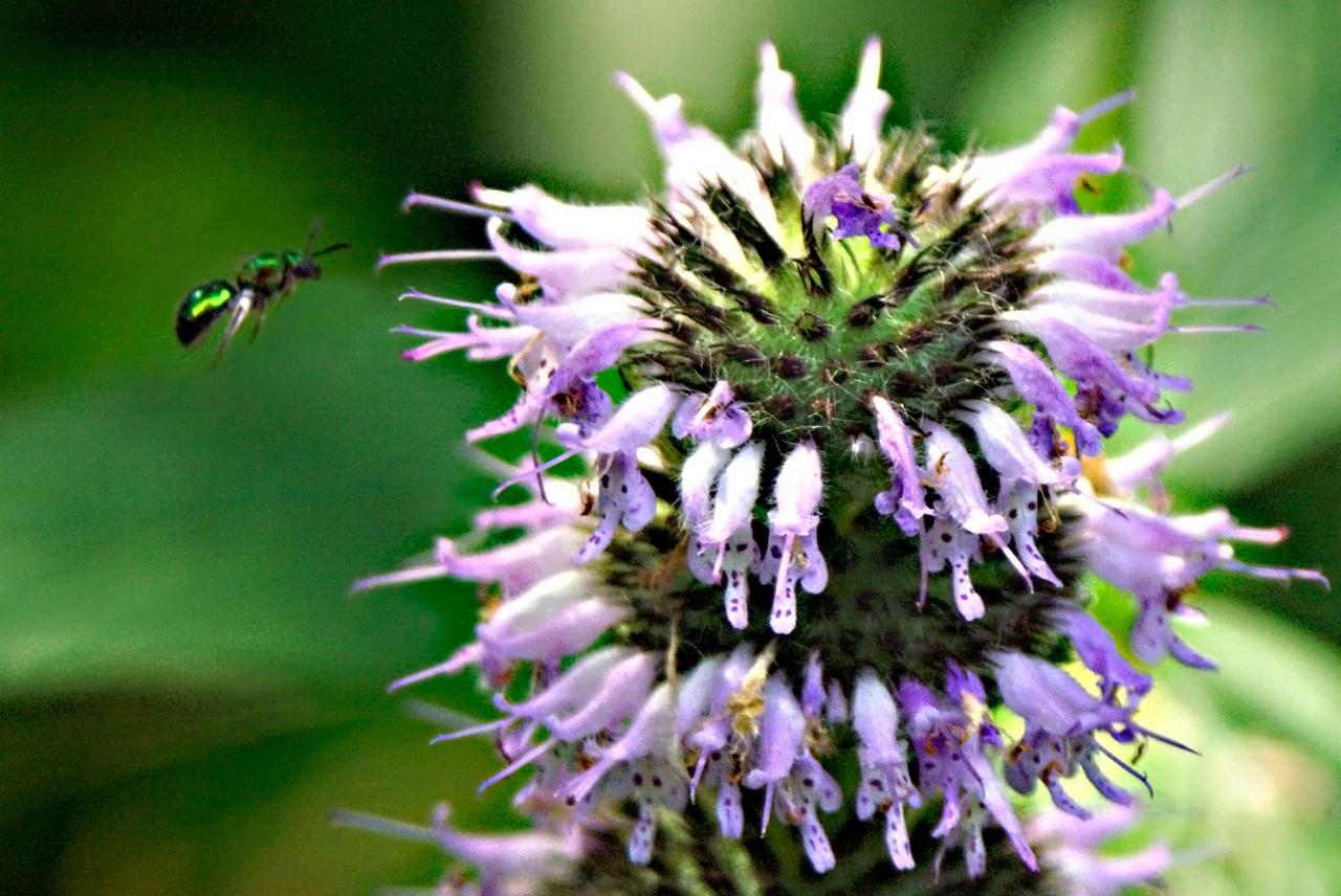 Bee in Flight. Missouri Ozarks.