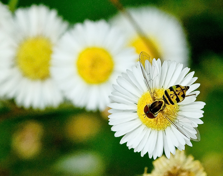 Yellow Bee on Yellow Flower.