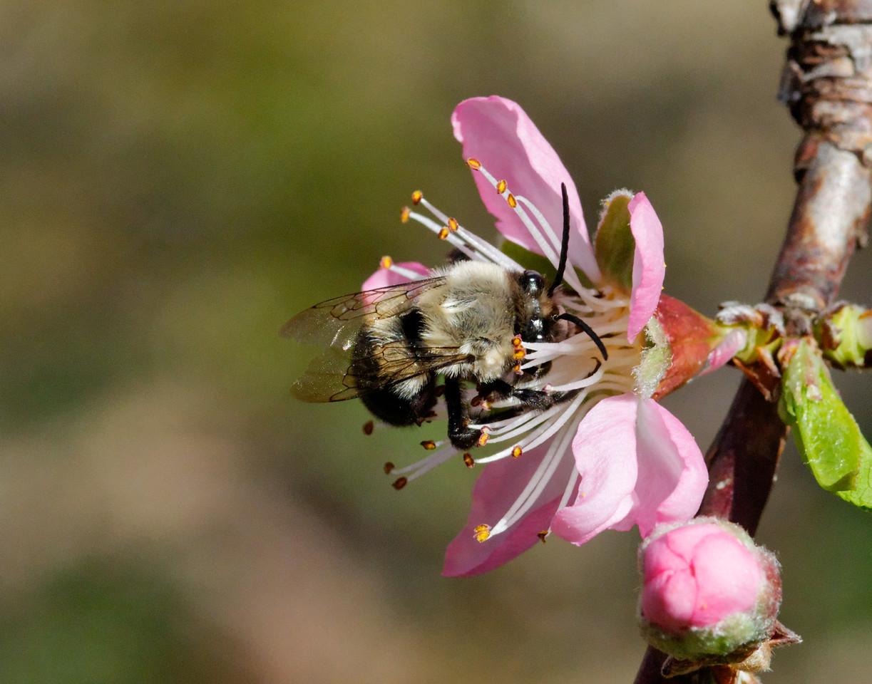 Bee on a peach blossom.