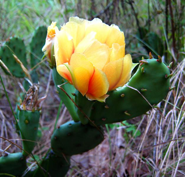 Cactus Flower.  Missouri Ozarks.