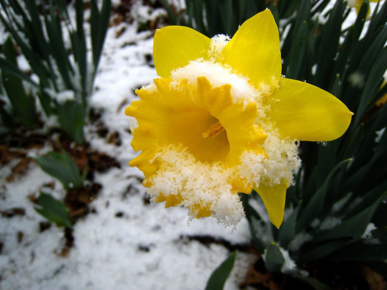 Snowfall on Jonquil Flower.  Missouri Ozarks.