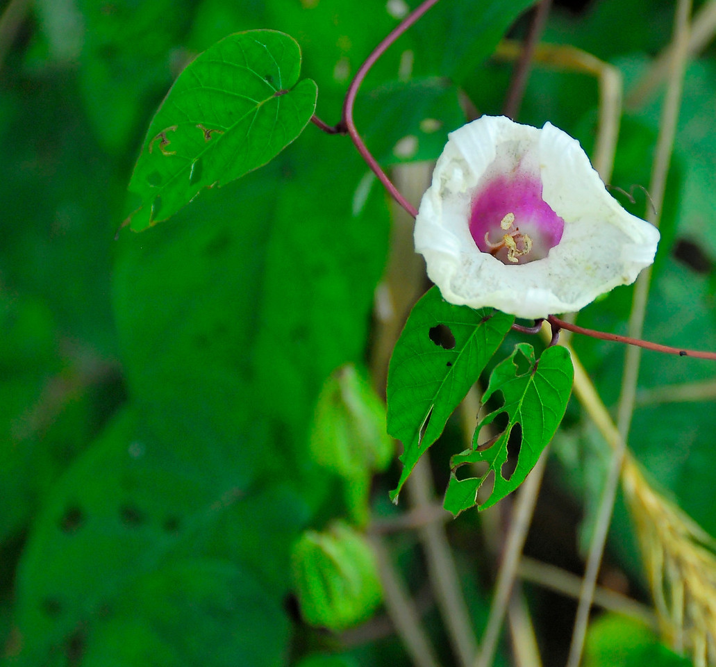 Wild Flower.  Missouri Ozarks.