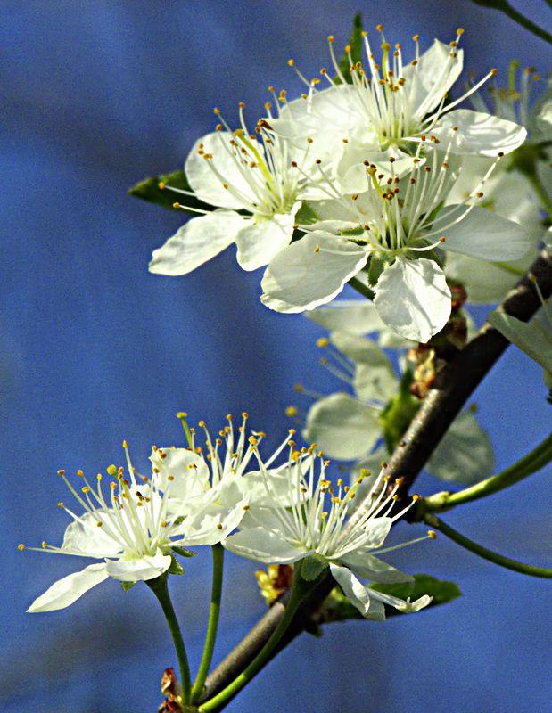 Apple Blossom.  Missouri Ozarks.