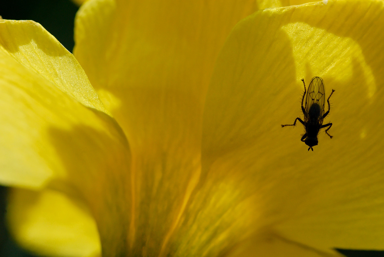 Fly on a Jonquil  (Narcissus jonquilla) in the Spring