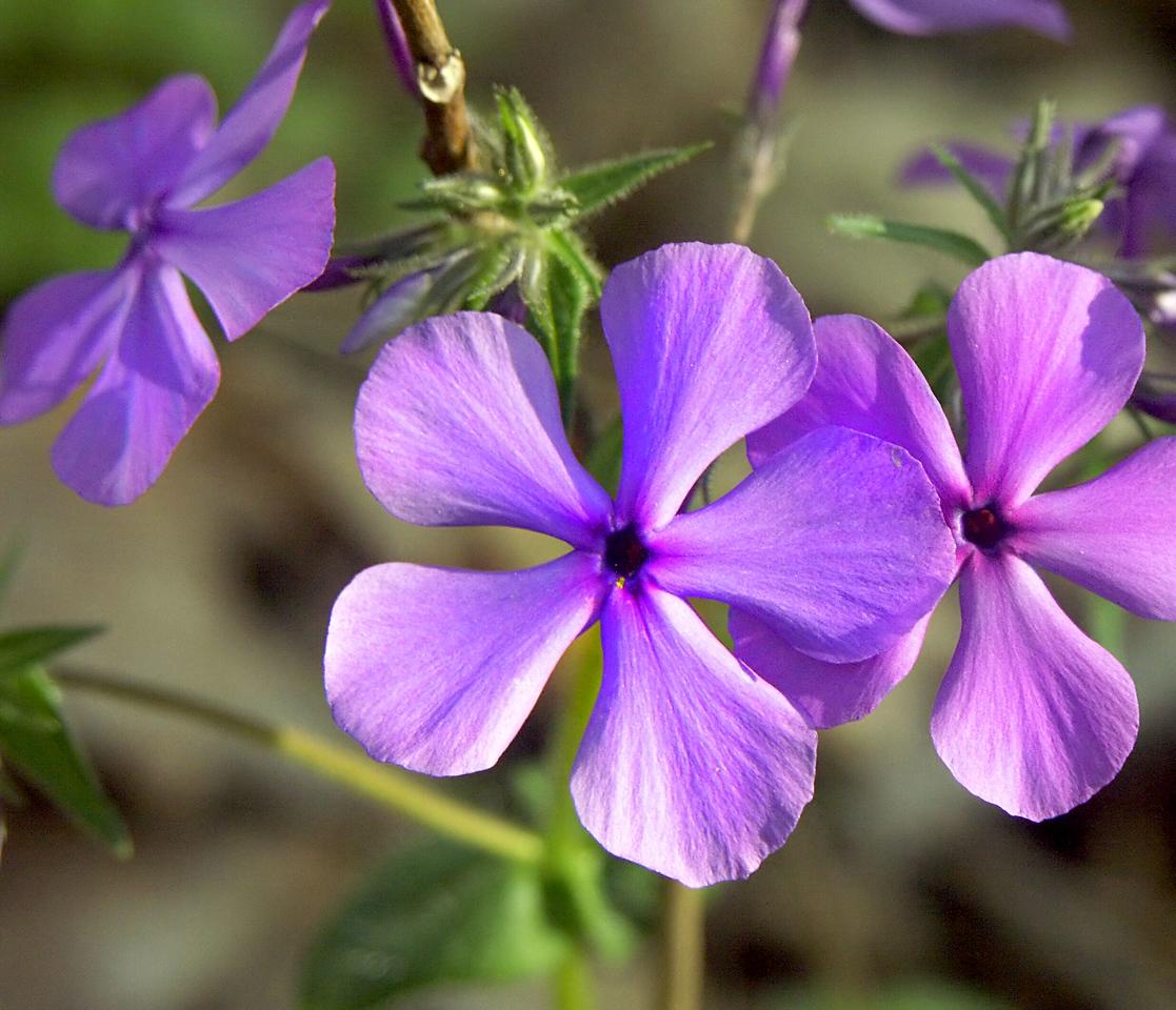 Tiny Flower, Forest Floor, Missouri Ozarks.