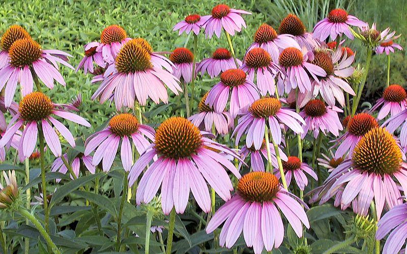 Cone Flowers.  Missouri Ozarks.