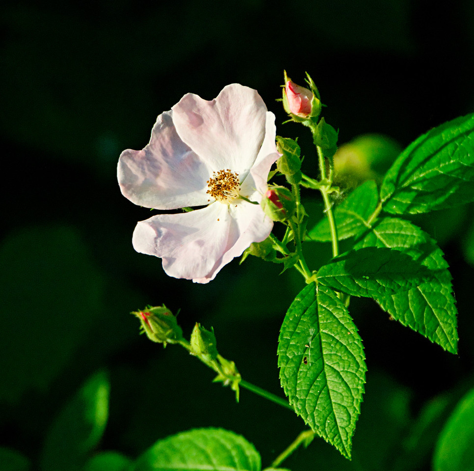 Wild rose on the banks of the Current River.