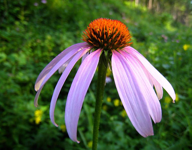 Cone Flower.  Missouri Ozarks.