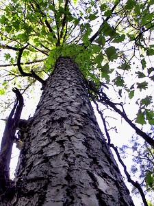 Towering Pine. Missouri Ozarks.