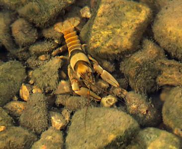 Crawfish.