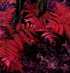 Red Fern. Okay, not really, but I thought it looked interesting.  I adjusted the color from green to red in Photoshop.  Missouri Ozarks.