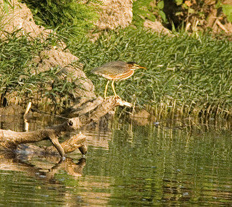 Green Heron on the Current River.