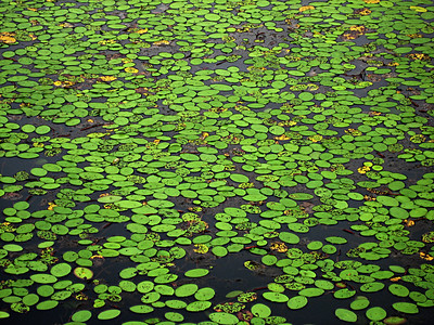 Lilly pads on a pond.