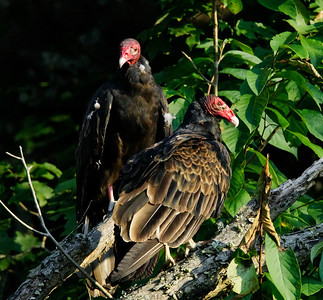 Turkey Vultures.