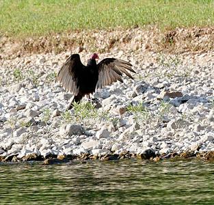 Turkey Vulture. Current River.