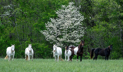 Wild Horses on a Ozark Field