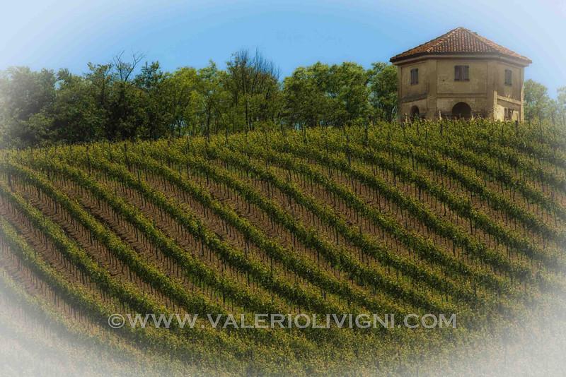 Codevilla (IT) - Vineyard