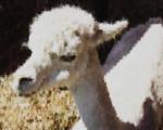 Alpaca Painting
