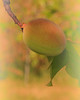 Apricot on a Twig
