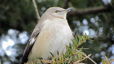 Mockingbird