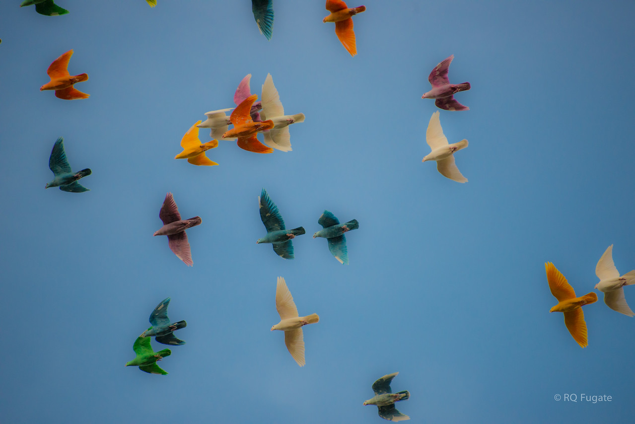 Pigeons dyed with food coloring - they love it