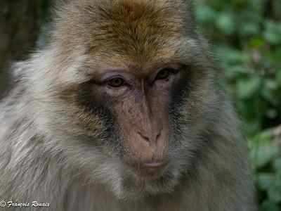 Monkeys, Apes and Lemurs