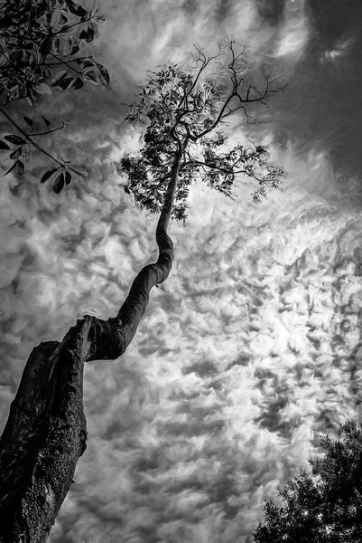 "WPP1575  ""Tree Top"" in Black and White"
