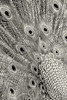 """WPP1215  """"Peacock Feathers in Monochrome""""  Vertical"""